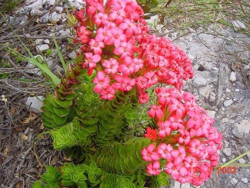Crassula Coccinea - Indigenous South African Succulent - 10 Seeds
