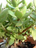 Crassula Dejecta - Indigenous South African Succulent - 10 Seeds