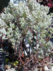 Crassula Pruinosa - Indigenous South African Succulent - 10 Seeds