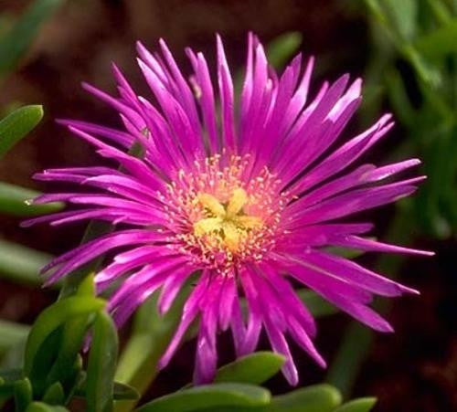Lampranthus Multiradiatus - Indigenous South African Succulent - 10 Seeds