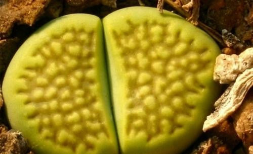 Lithops Hallii Mixed Forms - Indigenous South African Succulent - 10 Seeds