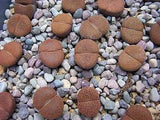 Lithops Leslei var Mariae - Indigenous South African Succulent - 10 Seeds