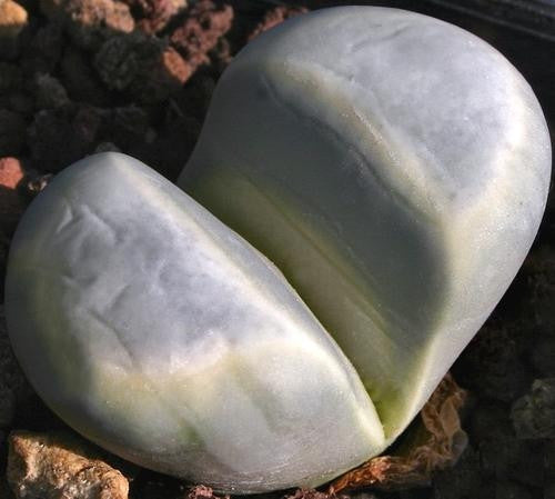 Lithops Meyeri - Indigenous South African Succulent - 10 Seeds