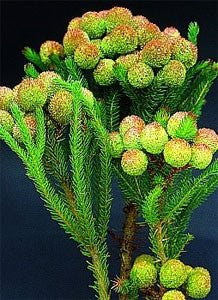 Berzelia Galpinii - Indigenous South African Tree - 30 Seeds