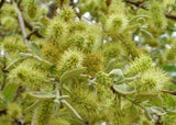 Combretum Erythophyllum - Indigenous South African Tree - 5 Seeds