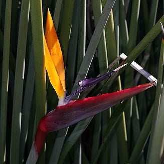 Strelitzia Juncea - Indigenous South African Shrub - 5 Seeds
