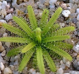 Drosera Cistiflora - Indigenous South African Carnivorous Plant - 10 Seeds