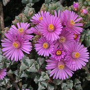 Oscularia Deltoides - Indigenous South African Succulent - 10 Seeds