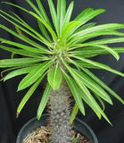 Pachypodium Lamerei - Indigenous South African Succulent - 5 Seeds