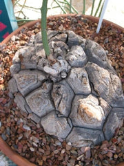 Dioscorea elephantipes - Indigenous South African Succulent - 10 Seeds