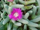 Argyroderma Fissum - Indigenous South African Succulent - 10 Seeds