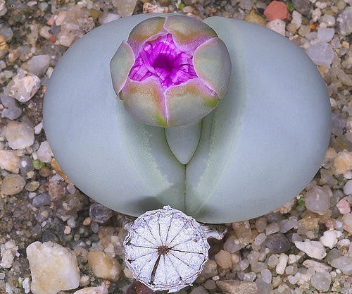 Argyroderma Pearsonii - Indigenous South African Succulent - 10 Seeds