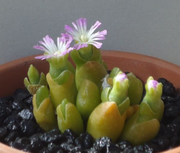 Oophytum Oviform - Indigenous South African Succulent - 10 Seeds