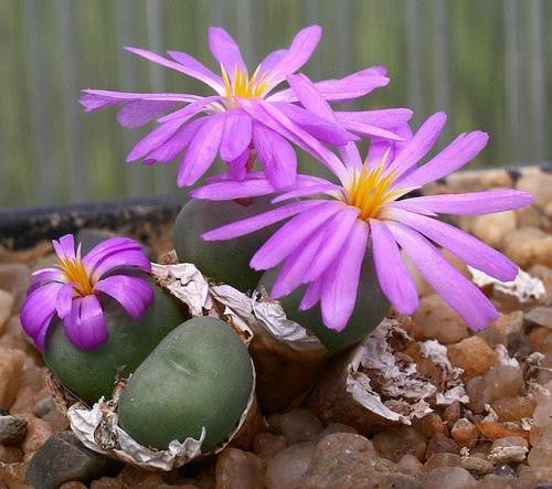 Conophytum Minutum - Indigenous South African Succulent - 10 Seeds