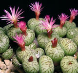 Conophytum Uviforme - Indigenous South African Succulent - 10 Seeds