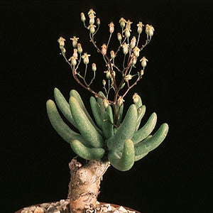 Tylecodon Reticulatus - Indigenous South African Succulent - 10 Seeds