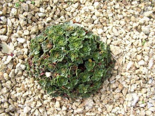 Crassula Natalensis - Indigenous South African Succulent - 10 Seeds