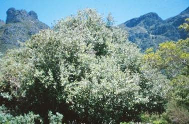 Brachylaena discolor var discolor - Indigenous South African Tree - 20 Seeds