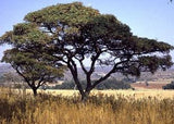 Burkea Africana - Indigenous South African Tree - 10 Seeds