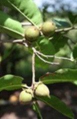 Diospyros Natalensis - Indigenous South African Tree - 5 Seeds