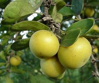 Dovyalis Caffra - Indigenous South African Tree - 10 Seeds