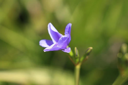 Aristea Ensifolia - Indigenous South African Bulb - 10 Seeds