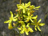 Bobartia Orientalis - Indigenous South African Bulb - 10 Seeds