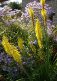 Kniphofia Ichopensis - Indigenous South African Bulb - 5 Seeds