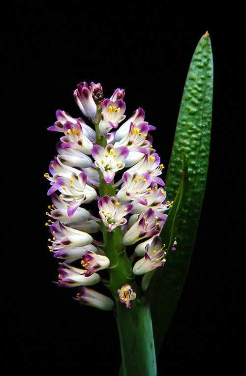 Lachenalia Liliflora - Indigenous South African Bulb - 10 Seeds