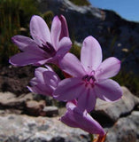 Watsonia Emiliae - Indigenous South African Bulb - 10 Seeds
