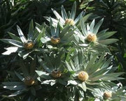 Leucadendron Argenteum - Indigenous South African Protea - 5 Seeds
