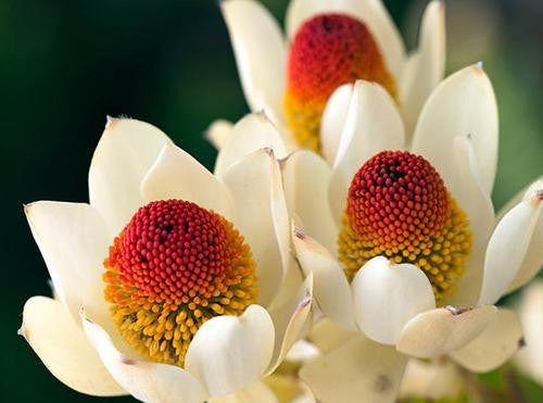 Leucadendron Discolor - Indigenous South African Protea - 5 Seeds