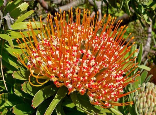 Leucospermum Erubescens - Indigenous South African Protea - 5 Seeds