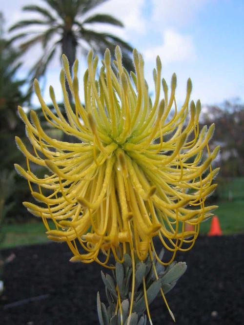 Leucospermum Reflexum Yellow - Indigenous South African Protea - 5 Seeds