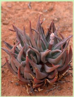 Aloe Krapohliana - Indigenous South African Succulent - 10 Seeds