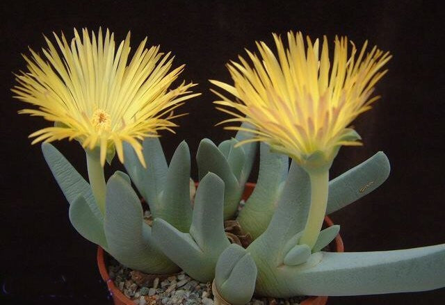 Cheiridopsis Candidissima - Indigenous South African Succulent - 10 Seeds