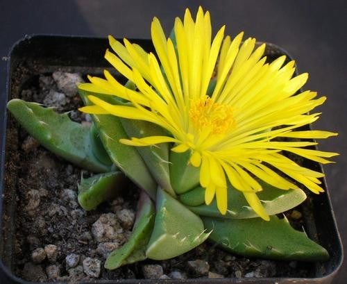 Faucaria Subintegra - Indigenous South African Succulent - 10 Seeds