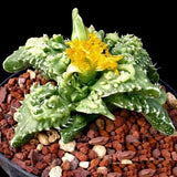 Faucaria Tuberculosa - Indigenous South African Succulent - 10 Seeds