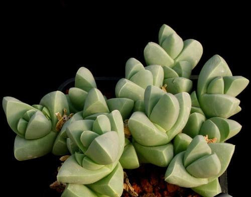 Gibbaeum Petrense - Indigenous South African Succulent - 10 Seeds