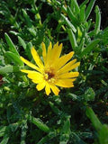 Lampranthus Glaucus - Indigenous South African Succulent - 10 Seeds