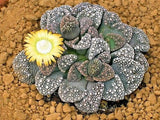 Titanopsis Calcarea - Indigenous South African Succulent - 10 Seeds