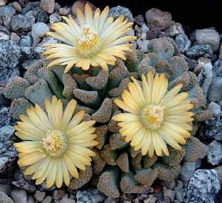 Titanopsis Schwantesii - Indigenous South African Succulent - 10 Seeds