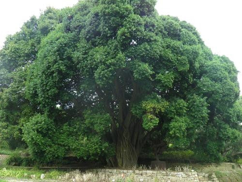 Ficus Craterostoma - Indigenous South African Fig Tree - 10 Seeds