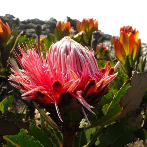 Protea Rubropilosa - Indigenous South African Protea - 5 Seeds