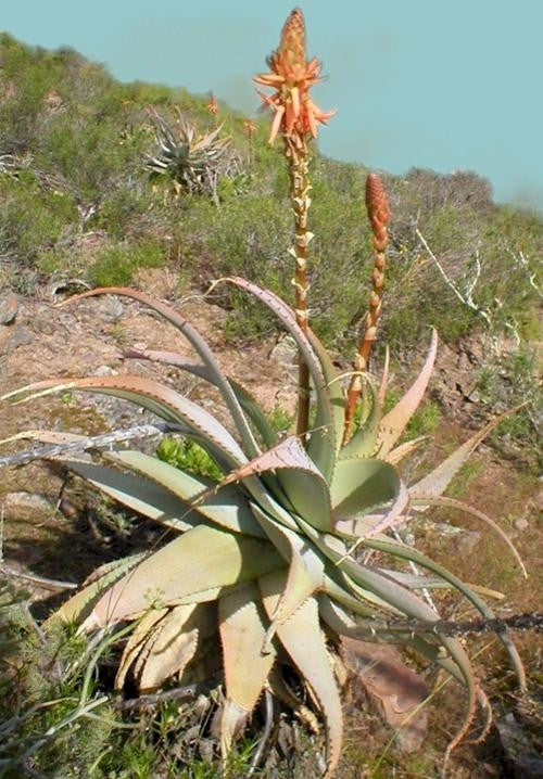 Aloe Glauca - Indigenous South African Succulent - 10 Seeds