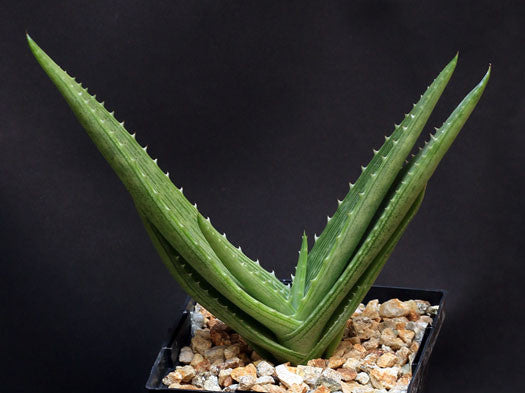 Aloe Hahnii - Indigenous South African Succulent - 10 Seeds