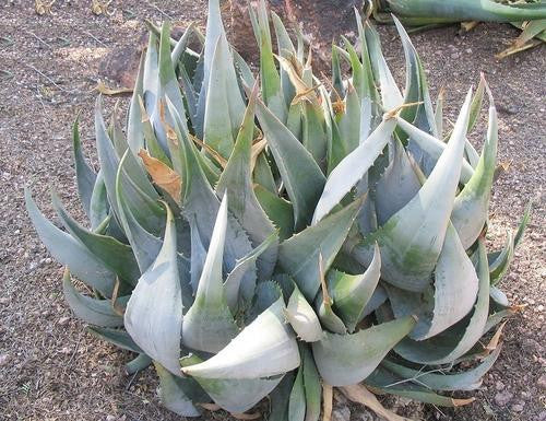 Aloe Ortholopha - Indigenous South African Succulent - 10 Seeds