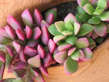 Anacampseros Telephiastrum - Indigenous South African Succulent - 10 Seeds