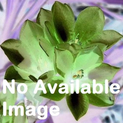 Babiana Engysiphon - Indigenous South African Bulb - 10 Seeds