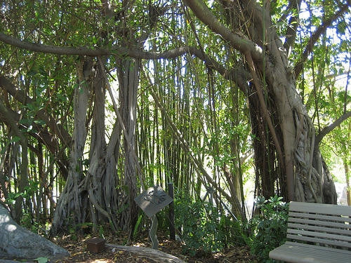 Ficus Thonningii - Indigenous South African Fig Tree - 10 Seeds